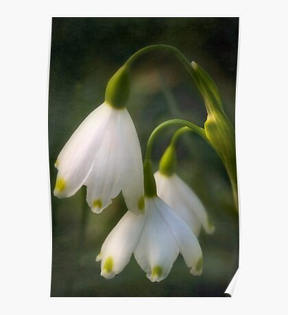 Demure snowdrops Poster