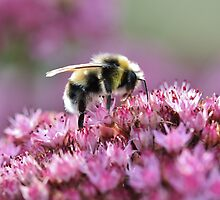 ...the only reason for being a bee... by Astrid Ewing Photography