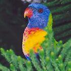 Rainbow Lorikeet by STHogan