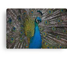 Peacock in Launceston Canvas Print