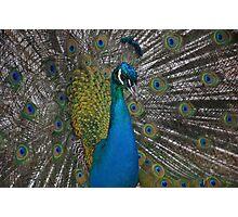 Peacock in Launceston Photographic Print
