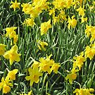 Daffodils for iPhone by Philip Mitchell