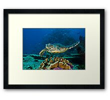 Hawkesbill Turtle Framed Print