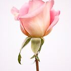 Another Rose by Elizabeth Tunstall