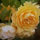 Heirloom Yellow Roses by Lynn Starner