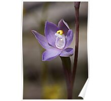 Forest Sun Orchid - Thelymitra arenaria Poster