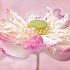 Lotus in pink by IngeHG