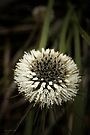 Dasypogon bromeliifolius (Pineapple Bush) by Elaine Teague