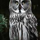 The Great Grey Owl by Alan Harman