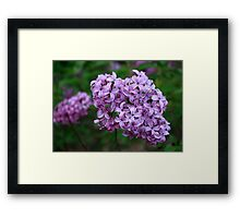 Lilac On Green Framed Print