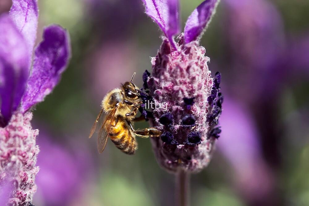 Lavender Harvester by Josie Eldred