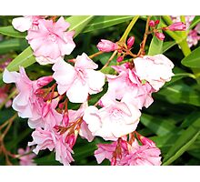 Oleander from Espana Photographic Print