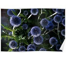Flash on Echinops Poster