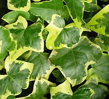 "Variegated ivy Hedera Helix ""Goldchild"" for iPhone by Philip Mitchell"