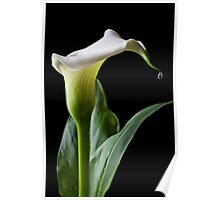 Calla lily with drip Poster