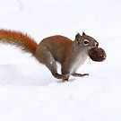 American Red Squirrel by Alinka