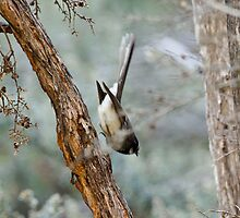 Grey Fantail diving to the ground by Ron Co