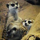 Meerkats by Jonice