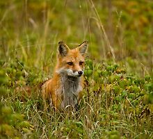 Red Fox In Field by Michael Cummings