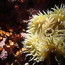 White Sea Anemone © by jansnow