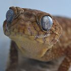 Nephrurus Amyae - Rough Knob-Tailed Gecko by Creativecap