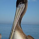 Pelican © by jansnow