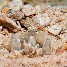 Mantis Shrimp, Walindi, Papua New Guinea by Allan Saben