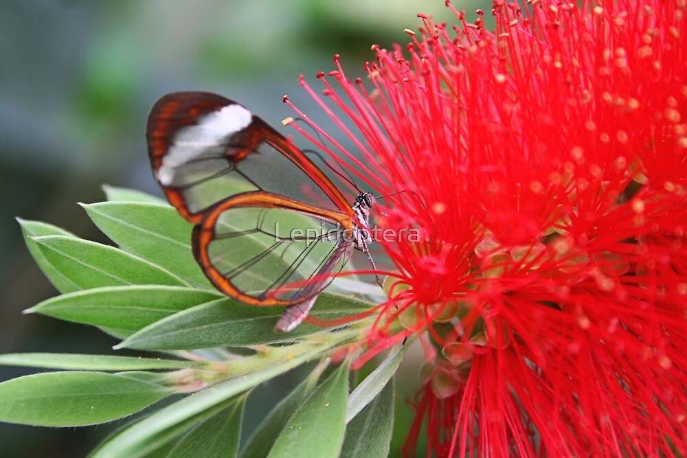 Glasswing Feeding on Bottlebrush - Greta oto by Lepidoptera