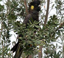 Yellow-tailed Black-Cockatoo by Darren Williamson