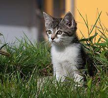Sweet Kitten by Paul Murray