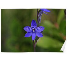 Thelymitra ixioides Poster