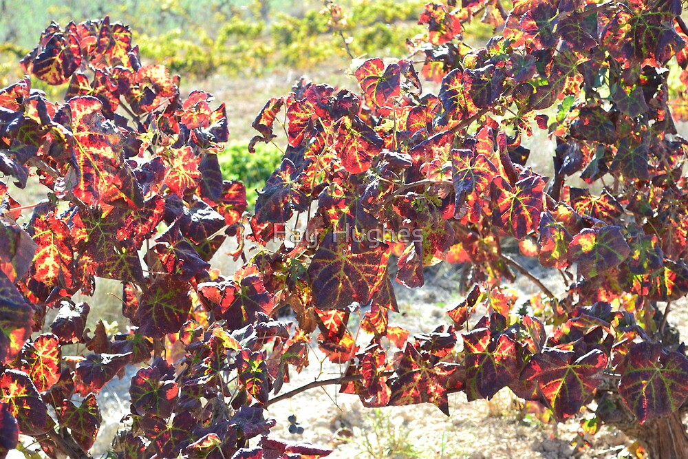 Sunlit Vines by Fay  Hughes