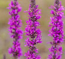Purple loosestrife by PhotosByHealy