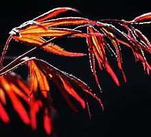 Spring Acer by Garry Copeland