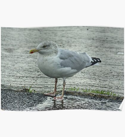 Herring Gull..Adult Winter Poster