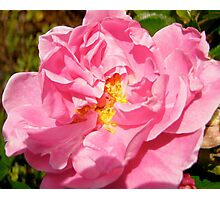 Governor General's rose 10 Photographic Print