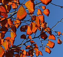 Red fall leaves in blue sky. by naturematters