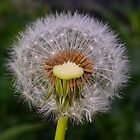 Just  Dandy (2) by Glenda Williams