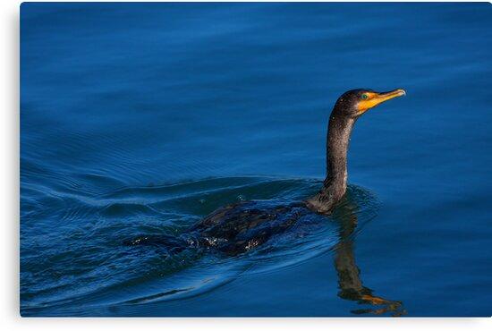 Juvenile Cormorant Swim by Karol Livote