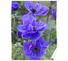 Blue Anemone Poppies  Poster