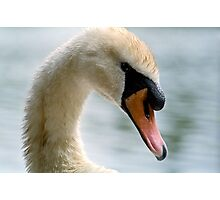 Portrait of an adult Mute Swan Photographic Print