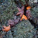 orange and purple starfish on the oregon coast by jeliza