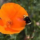Bee and California Poppy by jeliza
