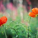 Orange Poppies by Lynn Starner