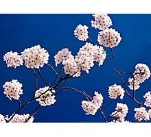 Cherry Tree in blossom Photographic Print