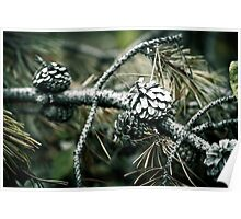 Pine cones Poster