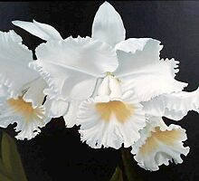 Gorgeous White Orchids by purplesensation