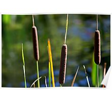 Cattails at the edge of the pond Poster