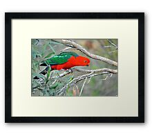 Male King Parrot. Brisbane, Queensland, Australia. (10) Framed Print