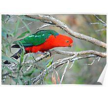 Male King Parrot. Brisbane, Queensland, Australia. (10) Poster